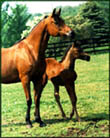 arab mare and foal.jpg (47190 bytes)